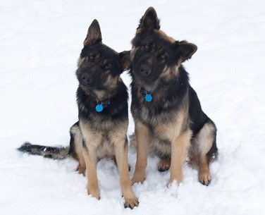 picture of young German Shepherds