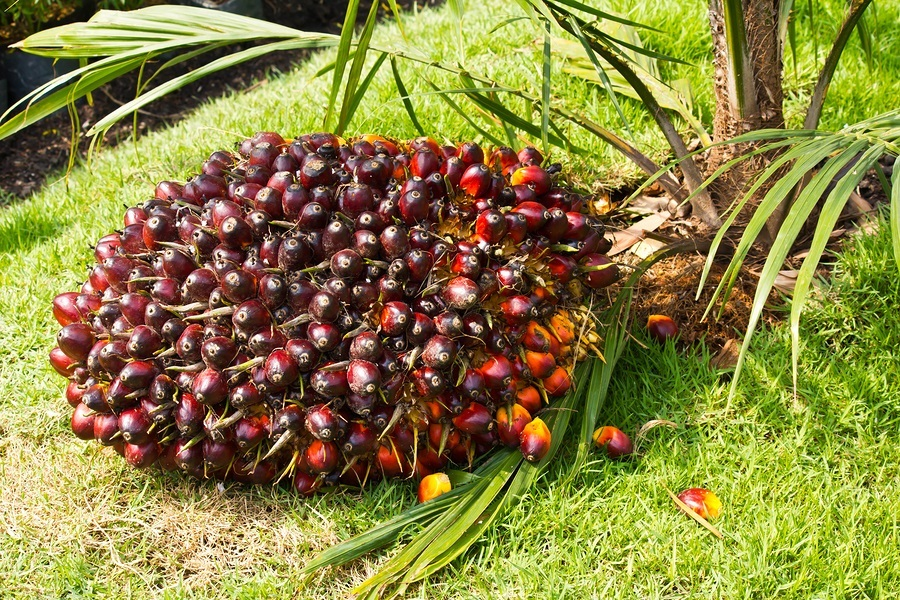 Palm fruits are used to produce palm oil.