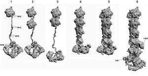 7716Proposed-actin-mechanism