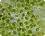 chlorella-microscope