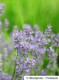 lavender-3-11