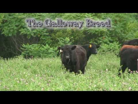 Grass-fed Traditions: Galloway Beef Raised on Organic Pastures