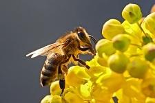 Bee_In_Flower