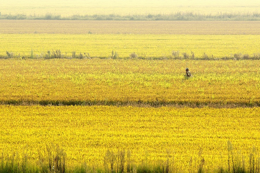 Photo_of_a_rice_field