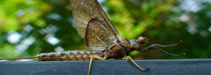 mayfly_wide