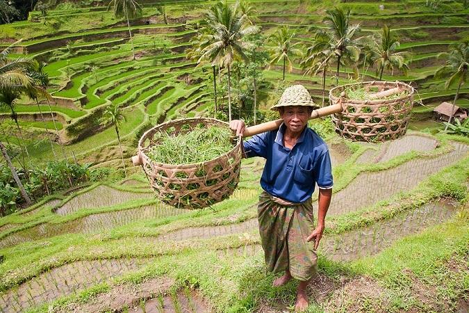 Rice_farmer