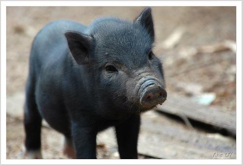 Michigan-heritage-pig