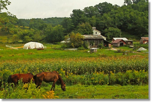 photo of farm with organic heirloom GMO-free corn growing