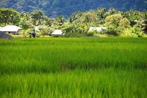 Green Terraced Rice Field in Havelock Island, India.