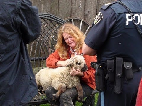Canadian Government Destroys Heritage Sheep Herd and Wants to Send Farmer to Prison