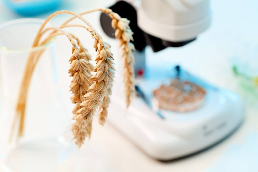 Control-of-wheat-GMO
