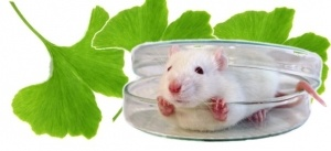 Mouse-in-Petrie-Dish-with-Ginkgo-Biloba-Leaves