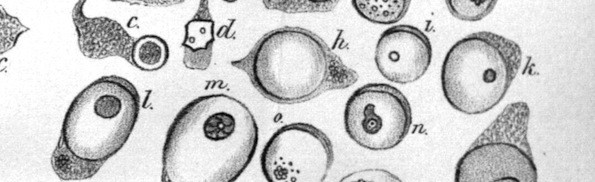Virchow-cell