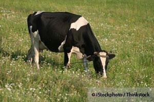 grass-fed-cows