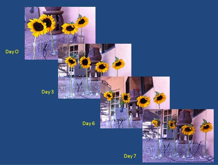 310-sunflower-experiment-02