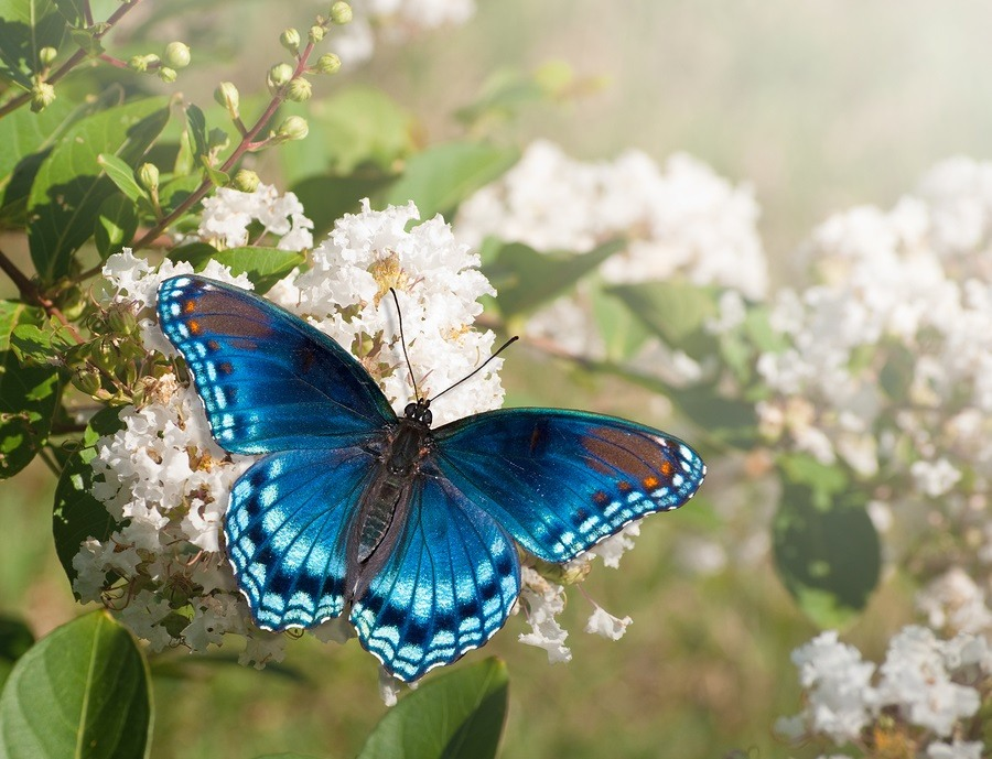 Red Spotted Purple Admiral butterfly feeding on white Crape myrt