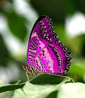 pink_butterfly_on_leaf