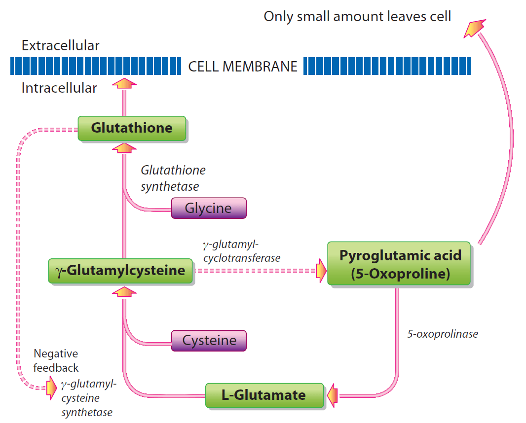 Metabolism-of-GSH-in-the-absence_lg