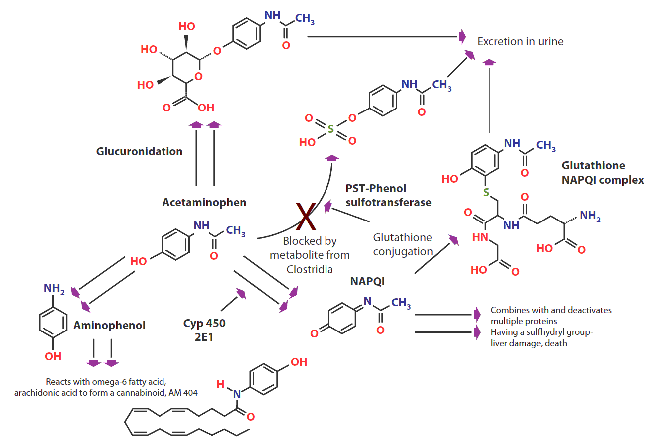 Metabolism-of-acetaminophen-(paracetamol)
