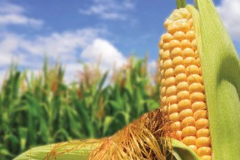 corn_bluesky_field_350
