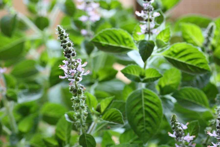 http://healthimpactnews.com/wp-content/uploads/sites/2/2013/10/tulsi-Holy-basil-flowers-leaves.jpg