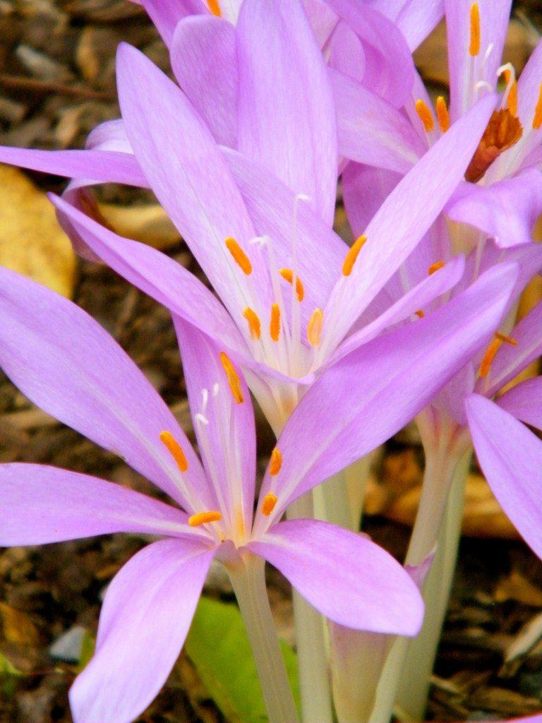 Colchicum_autumnale_at_the_U.S._Botanic_Gardens-768x1024