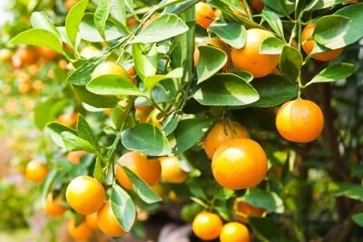 medicinal_properties_of_oranges(1)