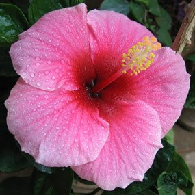 285x285_hibiscus