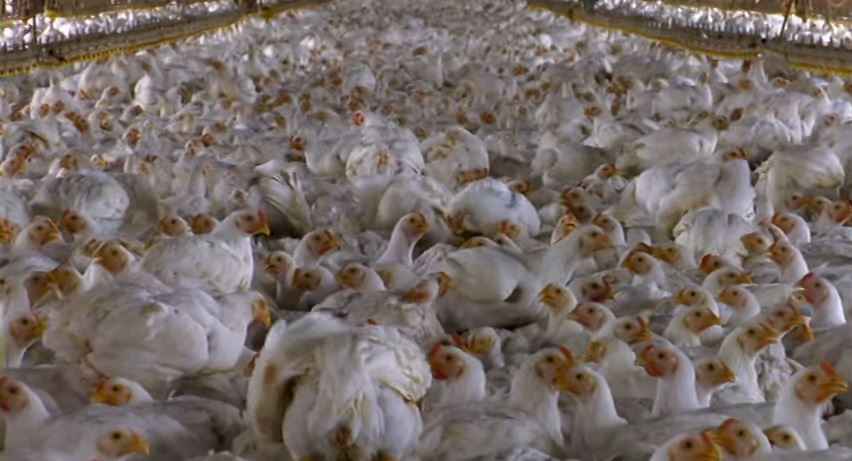 Factory Chickens