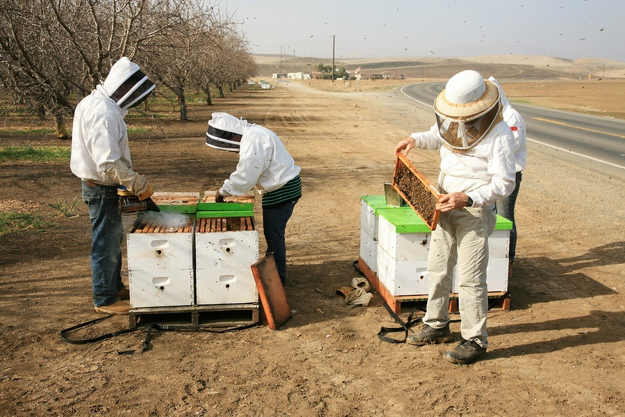 Genuine Unidentifiable Bee Keepers inspect their Bee Hives and t