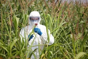 GMO-corn-examination