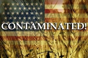 contaminated_wheat_grain