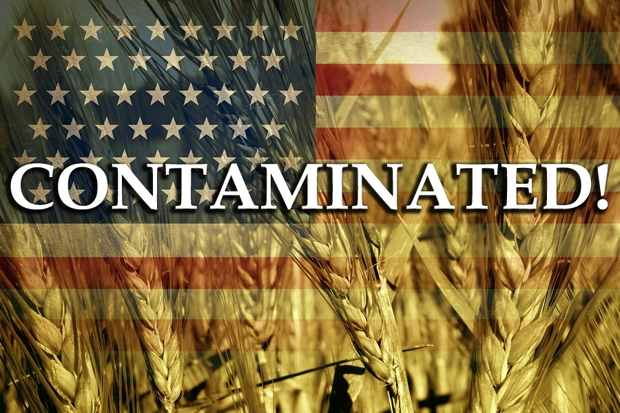 contaminated_wheat_grain