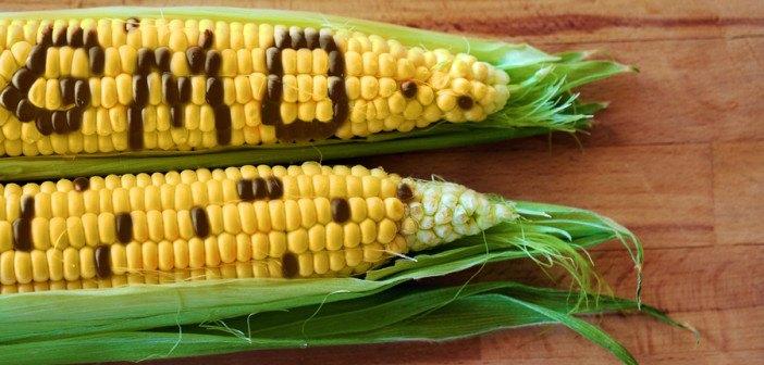 GE-Corn-web-702x336