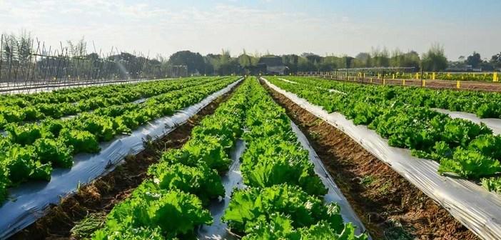 lettuce-rows-web-702x336