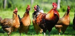 chickens-web-702x336@2x