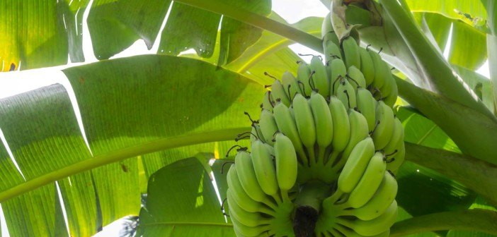 bananas-web-702x336