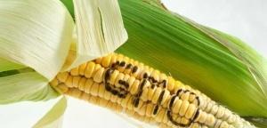gmo-corn2-web-702x336