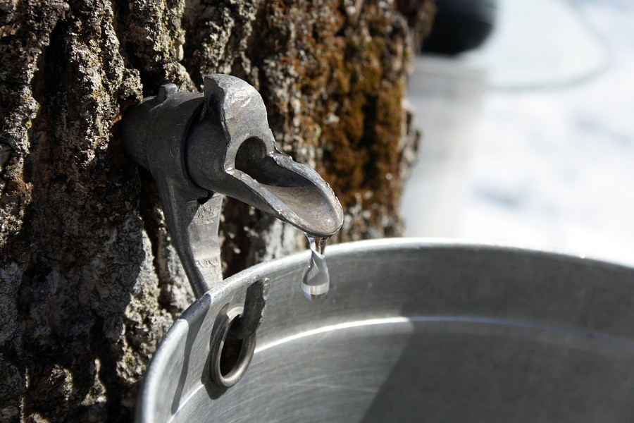 Droplet of maple sap flowing from tap on a trunk of a maple tree into a pail to produce maple syrup.