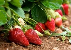 Fresh strawberries in blur natural green field background, fresh red strawberries, red strawberry, summer background, fresh fruits, strawberries field, crop, early crop in Malta
