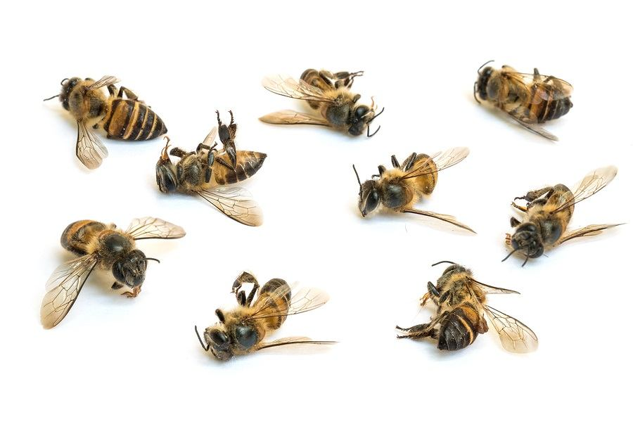 Closeup group of dead bee isolated on white background