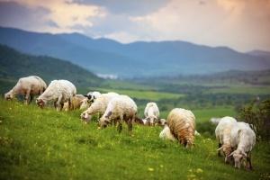 sheep-grazing-300x200