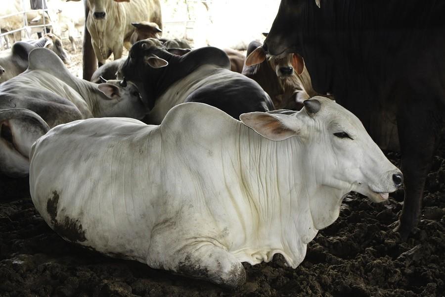 Beef-Feedlot