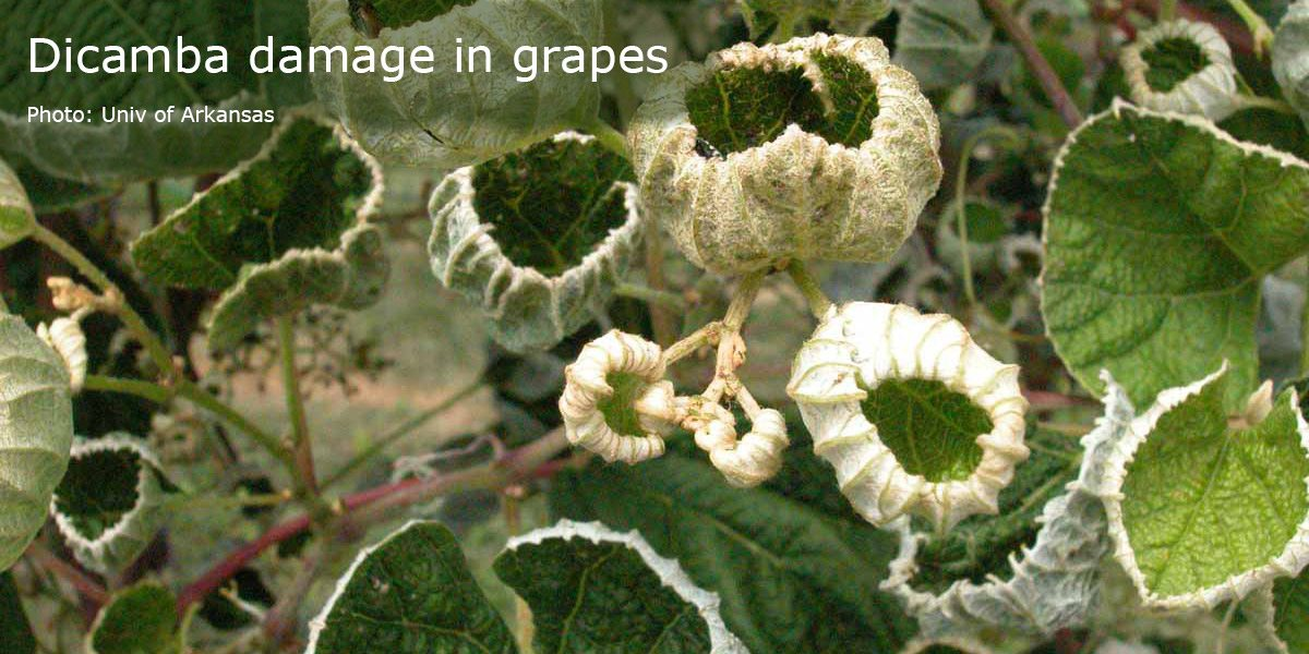 Dicamba_damage_in_grapes_1200x600