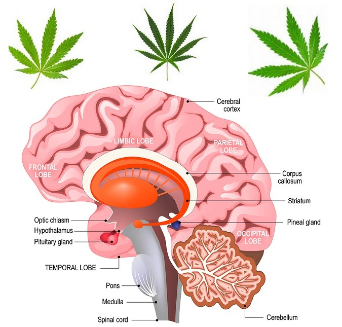 Does marijuana permanently damage the brain