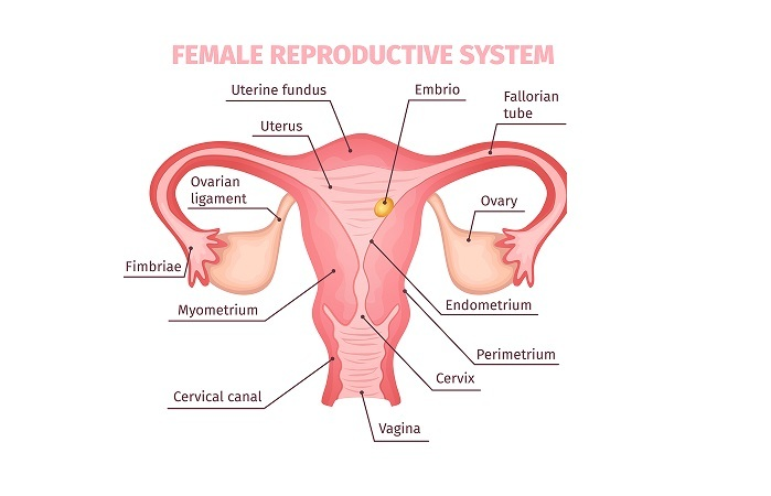 female reproductive system fb