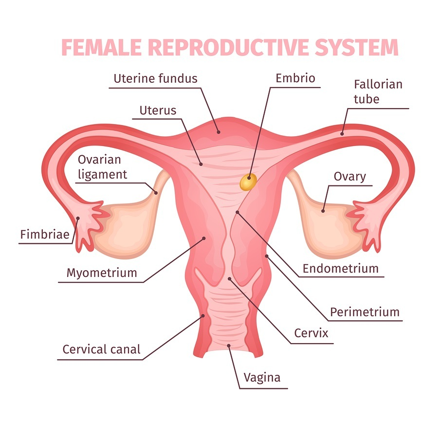 Female reproductive system scientific template in cartoon style on white background isolated vector illustration