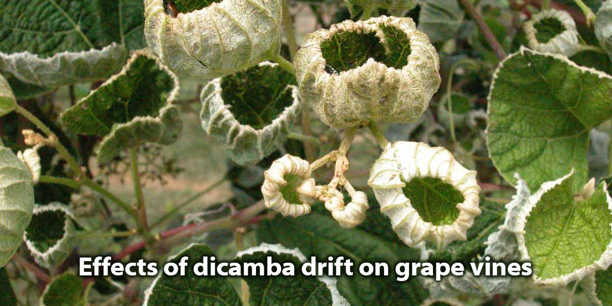 Effects_of_dicamba_drift_on_grape_vines_1200x600