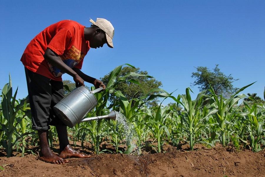 Malawi : farmer watering his field of sugar cane.