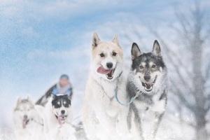 Dog-sledding-300x200
